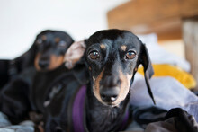 Portrait Of Dachshund Dogs Sitting On Bed