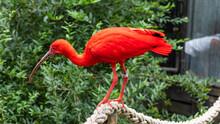 Eudocimus Ruber. Red Bird In Polish Zoo. Plock