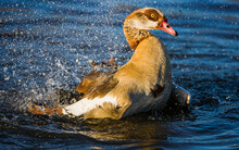 Egyptian Goose Cleaning It's Feathers In A Lake In The Morning Sunshine