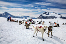 The Dogs Prepare For Their Tour, Helicopter Dogsled Tour Flies You Over The Taku Glacier To The HeliMush Dog Camp At Guardian Mountain Above The Taku Glacier, Juneau Ice Field
