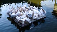 Groupe De Pélicans Sur Un Ponton Flottant