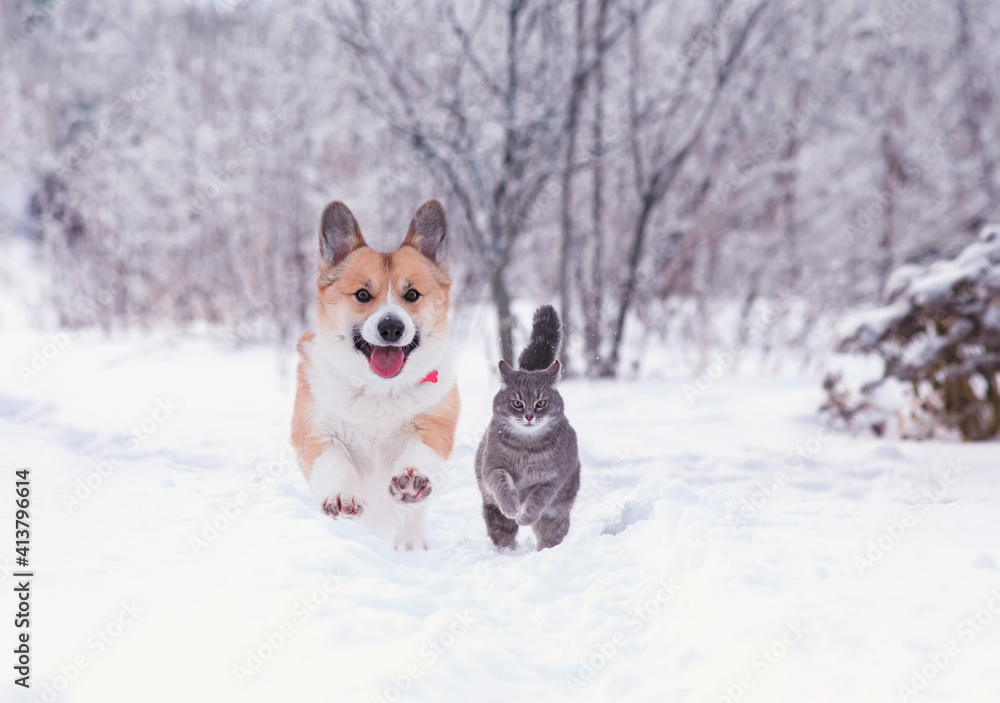 Fototapeta beautiful tabby cat and red Corgi dog run in the winter garden on fluffy snow