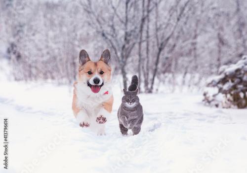 Fototapeta beautiful tabby cat and red Corgi dog run in the winter garden on fluffy snow obraz