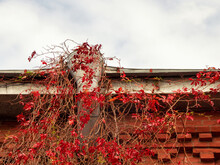 Old Drainpipe On The Roof Of The House With Red Leaves Of Wild Grapes