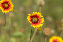 Nice Indian Blanket Flowers And Lonely Bee Gathering Nectar In The Summer Garden