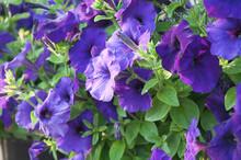 Beautiful Petunia Flower In The Garden. Organic Farm Of Easy Wave Blue Petunia Flowers.