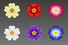 Set Of Isolated Primroses Colorful Spring Flowers