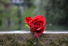 Closeup Shot Of A Wet Red Rose Head