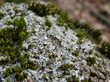 Lichen And Moss On Old Stone In Sunlight.