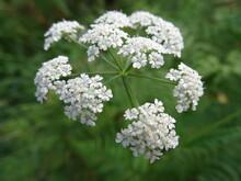 Flowers Of Daucus Carota (wild Carrot, Bird's Nest, Bishop's Lace) With Green Background.