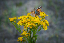 A Painted Lady Butterfly On Ragwort Flowers On The Norfolk Coast