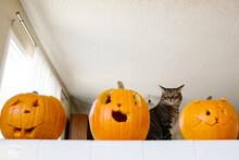 Tabby Cat Viewed Behind Three Carved Pumpkins