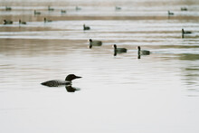 Side View Of A Common Loon Swimming With A Flock Of American Coots