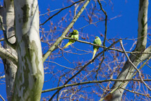 Two Rose-ringed Parakeets (Psittacula Krameri), Also Known Ring-necked Parakeets, Sitting On A Tree Branch