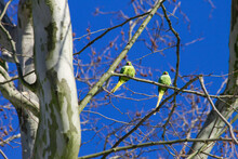 Two Rose-ringed Parakeets (Psittacula Krameri), Also Known Ring-necked Parakeets, In A Tree