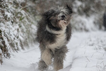 Bearded Collie Dog Running Towards Camera On Snow Covered Path