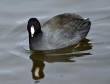 The American Coot (Fulica Americana), Also Known As A Mud Hen