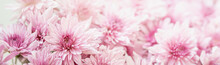 Closeup Of Pink Mums Flower On White Background With Copy Space Using As Background Natural Flora, Ecology Cover Page Concept.