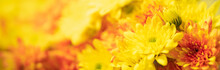 Closeup Of Orange And Yellow Mums Flower On White Background With Copy Space Using As Background Natural Flora, Ecology Cover Page Concept.