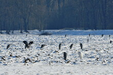 Grey And White Herons Standing In Winter Landscape,field Near Tovacov,Czech Republic