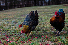 Three Chickens Scavage For Berries