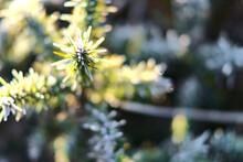 Beautiful Close-up View Of Winter Frozen Gorse Wild Flowers Growing Everywhere In Ireland. Hiking Path To Fairy Castle, Two Rock, Dublin Mountains, Co. Dublin, Ireland. Unusual Irish Winter 2021
