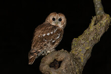 Tawny Owl (Strix Aluco) Photographed At Night