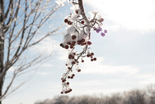 Beautiful Snow Covered Tree Branch With Berries On Winter Morning