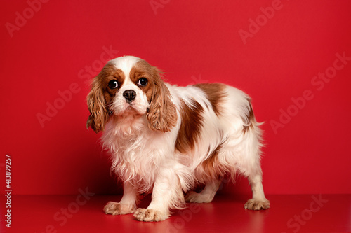 Fotografia Portrait of cute cavalier spaniel is sitting on the red  background