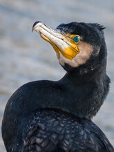 Cormorant Bird On A River In  Ice At The Sunny Winter Time