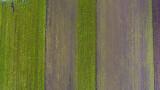 Scięta nać z marchwi z drona