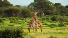 Fight Between Two Male Maasai Giraffes. The Animals Beat Each Other With The Neck. Rare Footage. Savannah, Serengeti, Tanzania, Africa