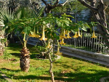 Angel's Trumpet, Or Brugmansia Tree With Flowers At Springtime