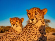 Cheetahs At Sunset