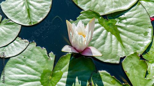 rozkwitająca lilia wodna