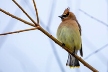 Cedar Waxwing Perched On A Branch On A Gloomy Day