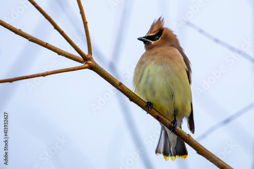 Leinwand Poster Cedar Waxwing Perched on a Branch on a Gloomy Day