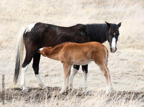Fényképezés foal nursing
