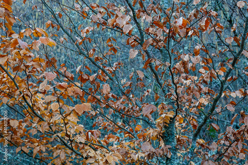 Beech branches with dry leaves in winter. Fagus sylvatica. © LFRabanedo