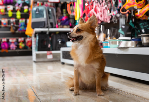 Fototapeta premium Little cute doggy walking in pet shop on background of shelves with dog accessories