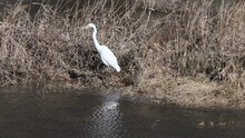 Adult Great Egret Standing In Tall Dry Reeds