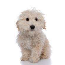 Cute Innocent Caniche Dog Looking At The Camera