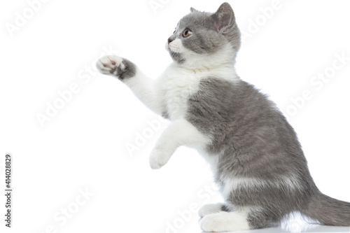 Fotografie, Obraz british shorthair cat trying to reach something with her paw