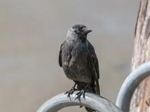 Western Jackdaw (Corvus Monedula) In Park, Husum, Schleswig-Holstein, Germany