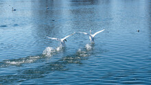 Mute Swans Or Cygnus Olor With Wholly White Plumage And Large Wingspan Landing On Water