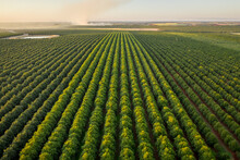 Aerial View Of An Enormous Field Near Isis Central Countryside At Sunset, Queensland, Australia.