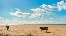 Cattle Trotting Across A Sandy Coastal Beach With Distant Ocean View With Kite Surfers In The Air