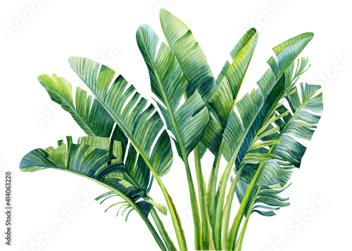 Fotografering Banana palm, palm leaves, hand drawing, watercolor botanical painting