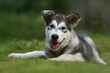 Alaskan Malamute puppy dog lies in the forest