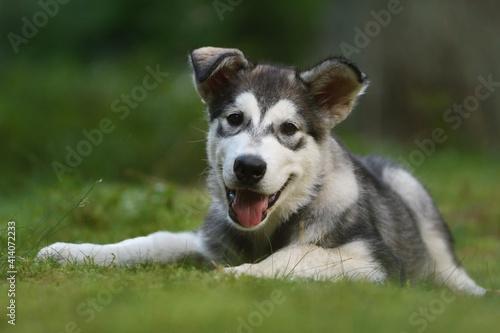 Fototapeta Alaskan Malamute puppy dog lies in the forest  obraz